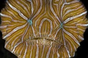 Psychedelischer Anglerfisch aus Ambon