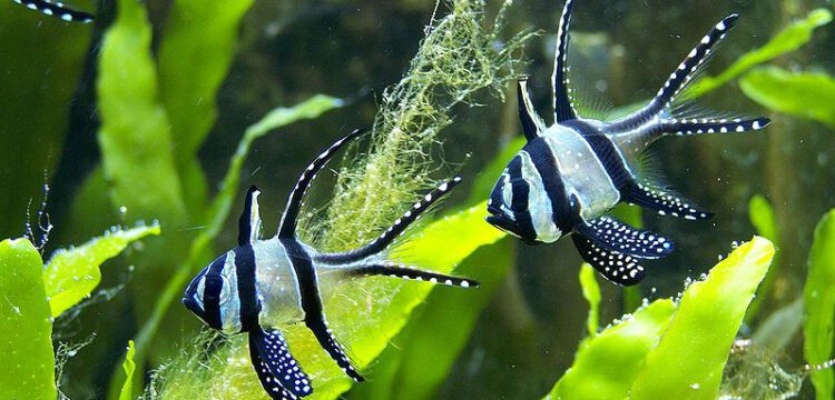 Banggai Kardinalfische