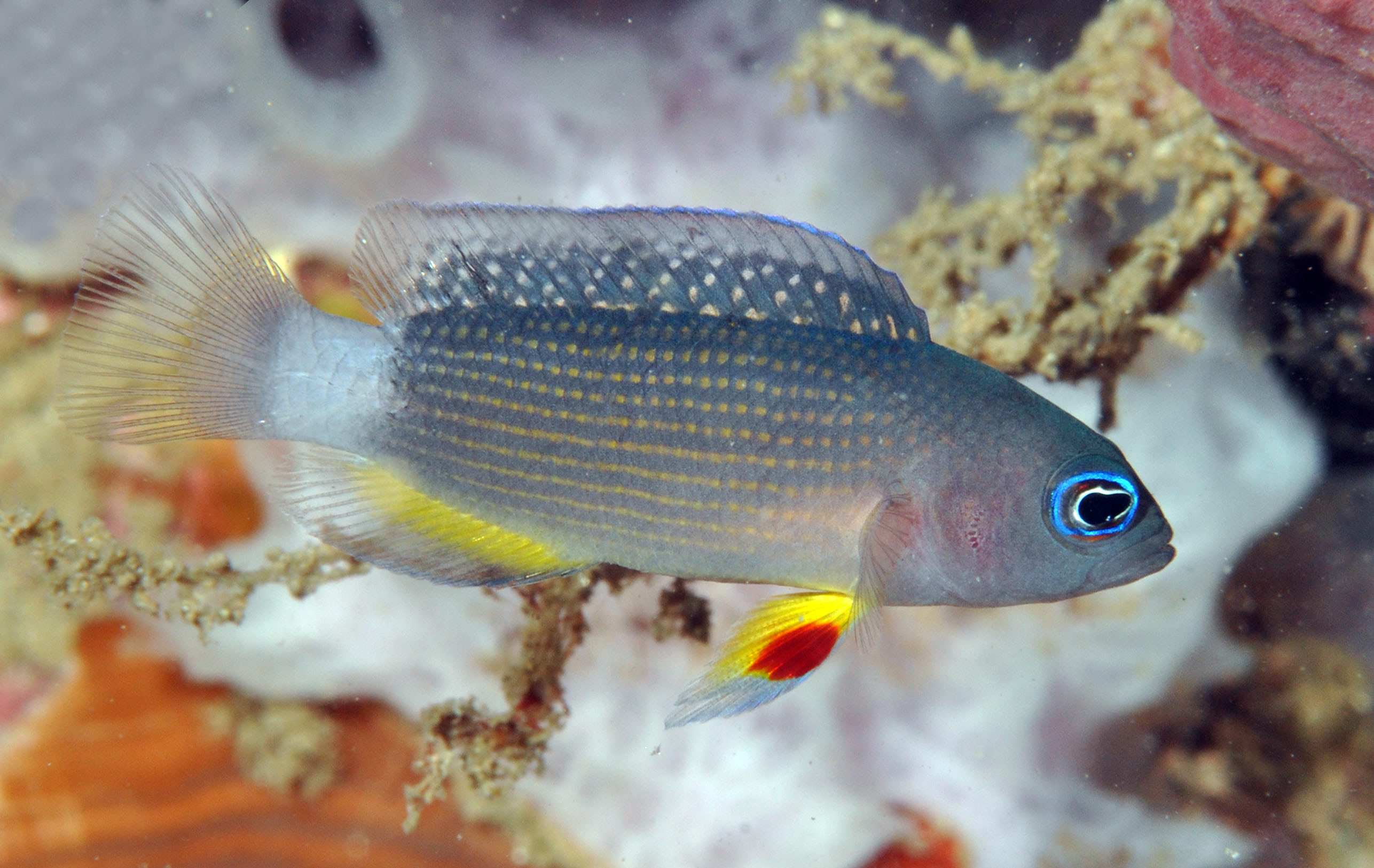 Acht Neue Fischarten Vor Bali Entdeckt BodeBlog Tauchen In  #A05E2B 2573 1626 Foto Di Mobili Per Cucina