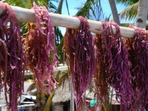 Agar-Agar wird getrocknet - Vergessene Inseln