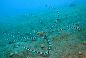 Mimic Octopus in Waiwowang - Vergessene Inseln