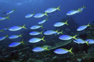 Artenvielfalt: Füssiliere vor Atauro