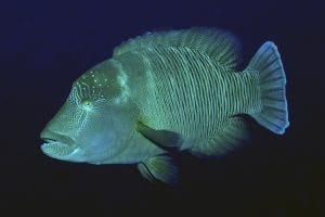 Napoleonfisch im Meer vor Timor-Leste, Atauro
