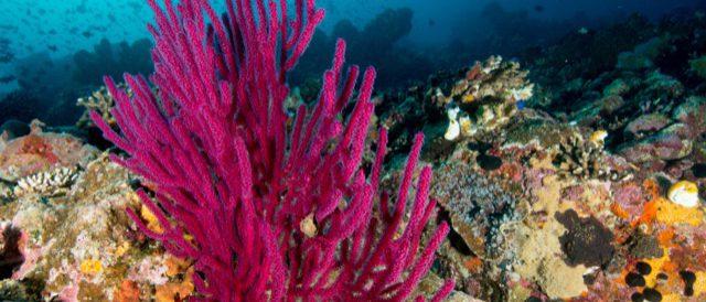 Riff mit roten Korallen