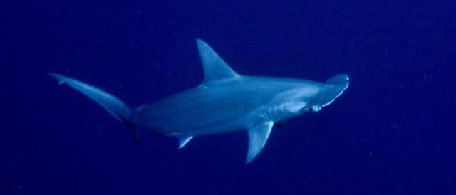 Banda: Hammerhai vor Pulau Ai