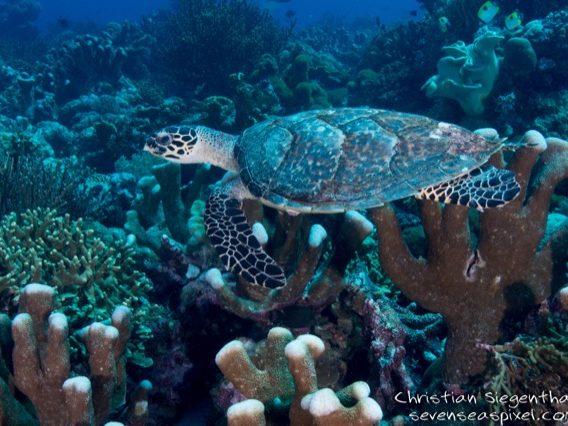 Banda: Schildkröte