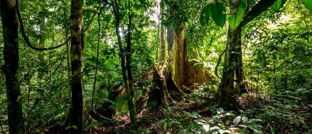 Urwaldbäume mit Brettwurzeln im Dschungel