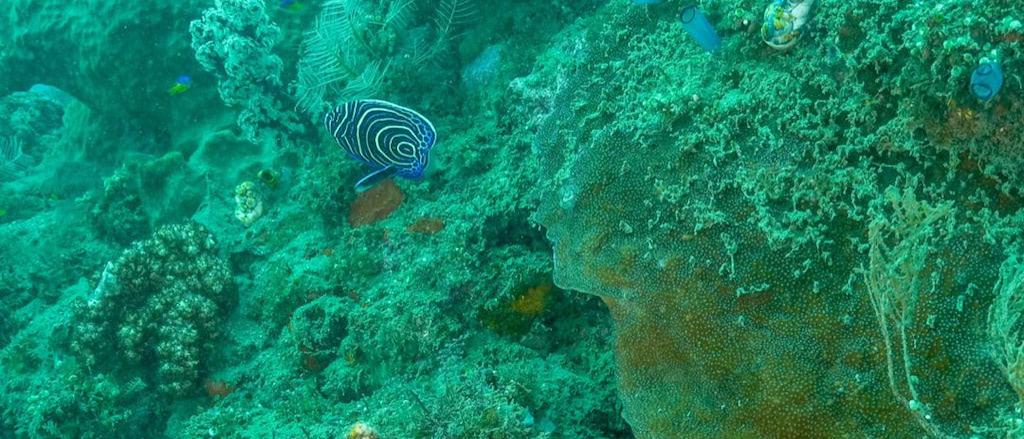 Juveniler Kaiserfisch, Nakaela