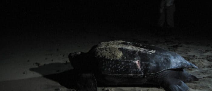 Lederschildkröte auf dem Weg zurück ins Meer
