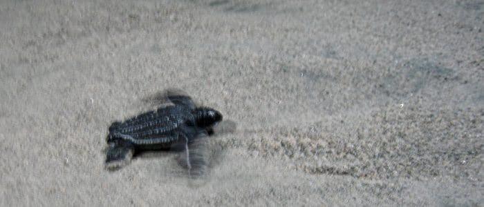 Frisch geschlüpfte Lederschildkröte auf dem Weg zum Meer
