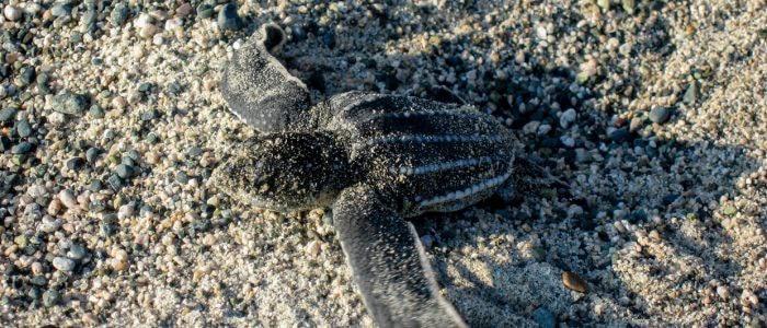 Lederschildkröte schlüpft aus dem Nest