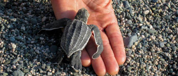 Frisch geschlüpfte Lederschildkröte, Größenvergleich