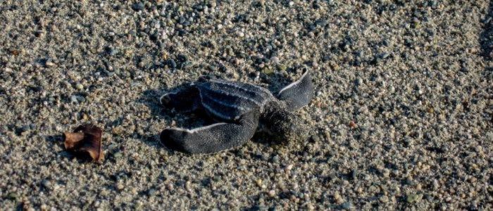 Kleine Lederschildkröte