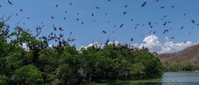 Flughunde im Anflug bei Riung