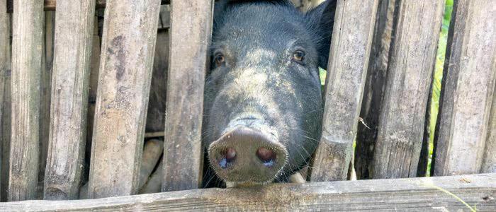 Schwein in seinem Käfig bei Ruteng