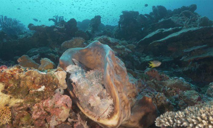 Korallen mit Skorpionfisch