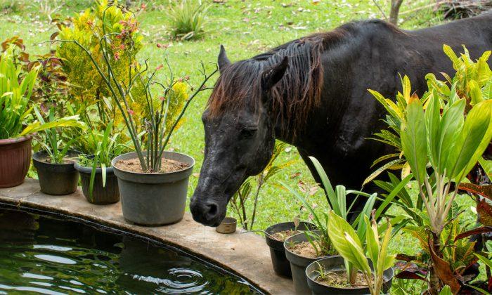 Bogani Homestay Pferd