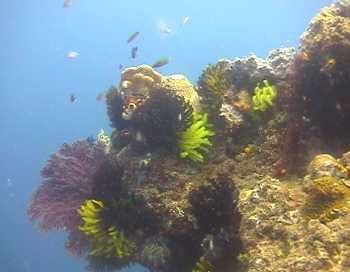 Typischer Riffbewuchs in Papua Neuguinea