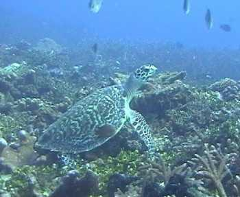 Schildkröte bei Madang, Papua Neuguinea