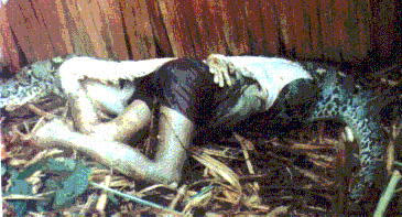 Eaten up by a large python (Central Sulawesi), 1991
